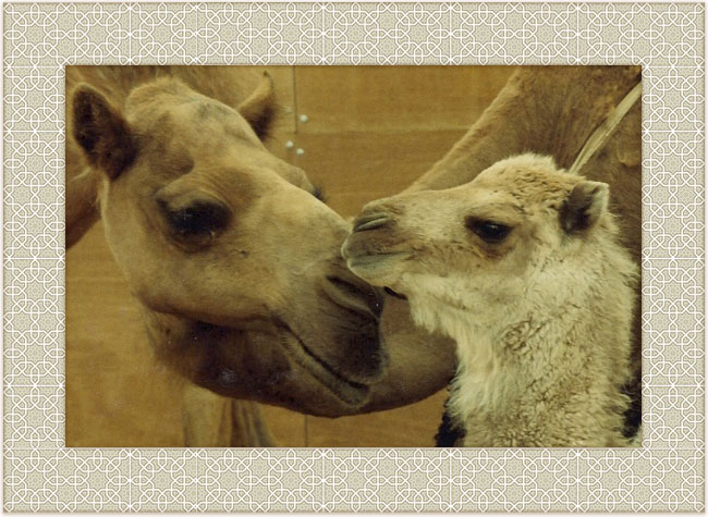 Saudi camels